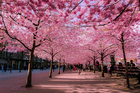 Sakura di Hokkaido, Giappone