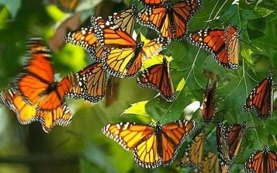 Messico per gli amanti della natura e dell 39 avventura for Immagini farfalle per desktop