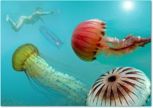 Chrysaora-hysoscella-meduse