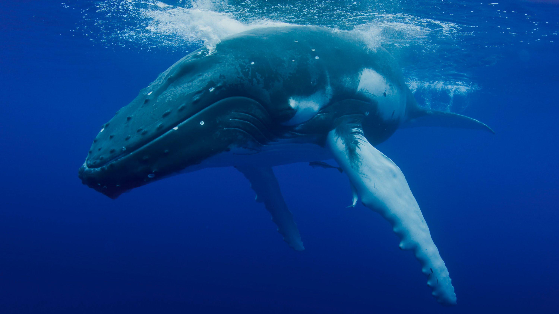 whale azzorre
