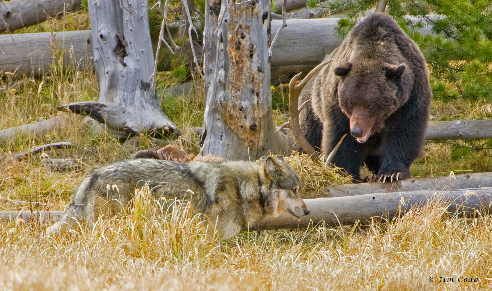 Grizzly Bear and Wolf, Yellowstone National Park, Wyoming