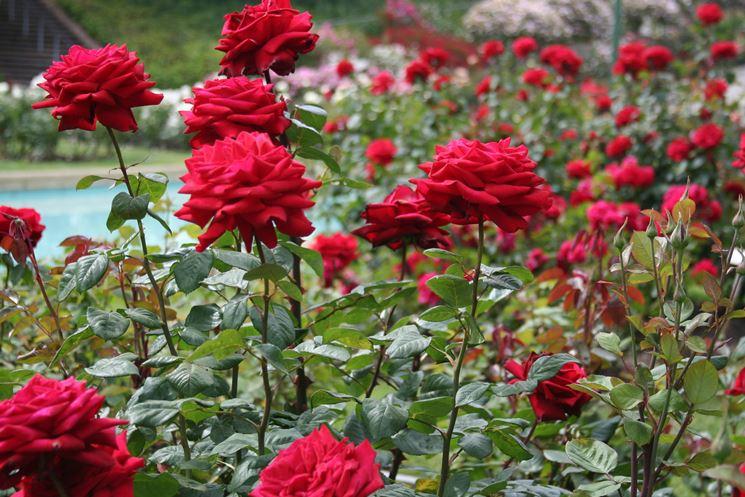 ... Pianta Di Rosa In Regalo, Per Chi Ha Un Giardino O Un Terrazzo. Unu0027idea  Romantica è Quella Di Spargere Qualche Petalo Sulla Tavola, Se Avete  Progettato ...