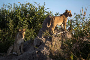 Lion cubs in the Duba Plains