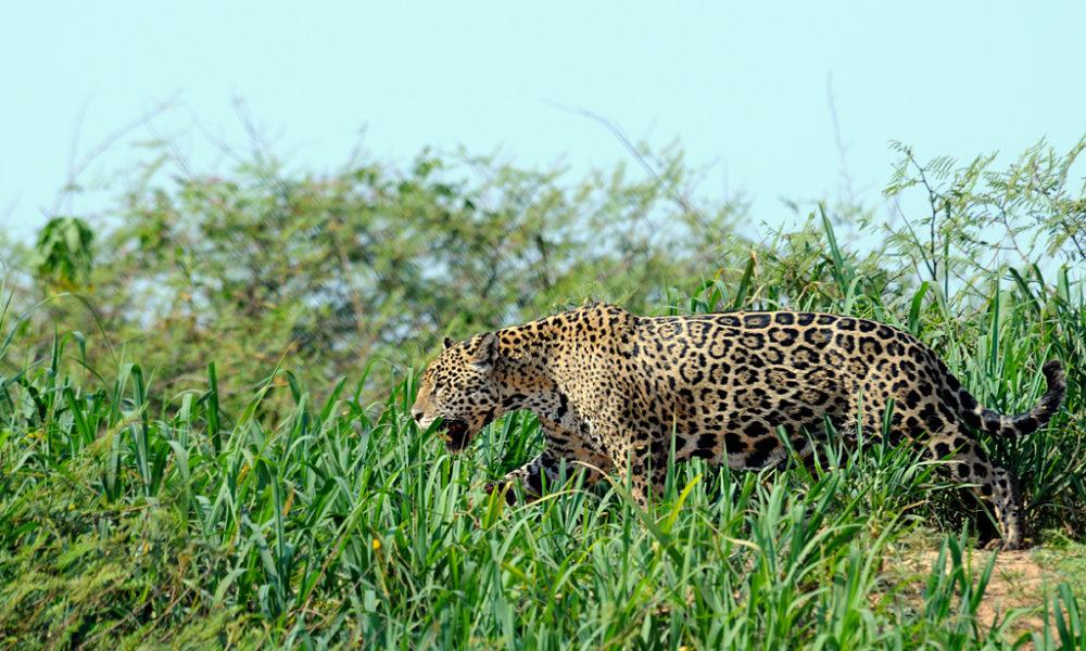 Giaguaro (in pericolo per gli allevamenti intensivi)
