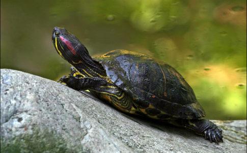 Tartaruga guance rosse (specie aliena contro la quale LIFE ASAP lotta)
