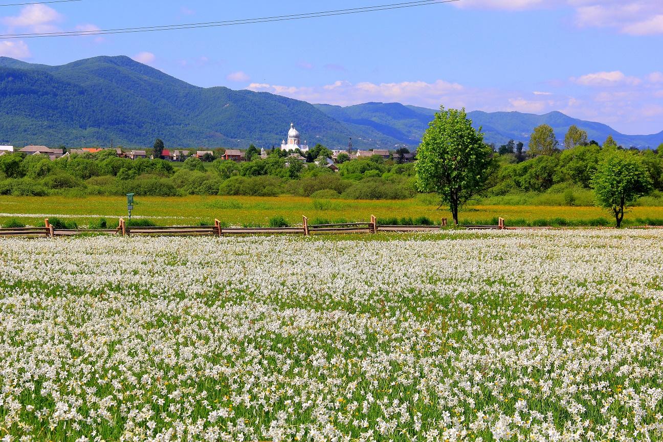 Valle dei Narcisi, Khust, Carpazia, Ucraina