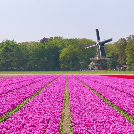 Tulipani in fiore a Keukenhof