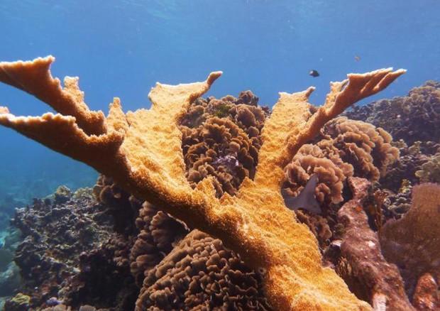 Reef corallino