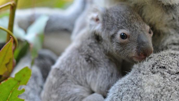 Macadamia, presso l'Australia Zoo