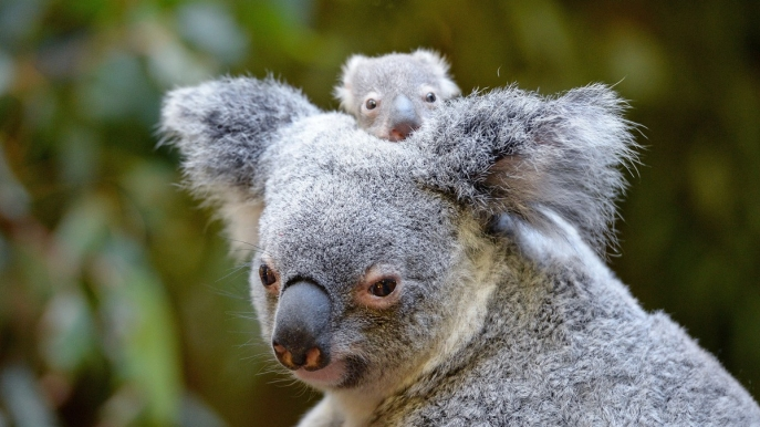 Macadamia e sua mamma all'Australia Zoo