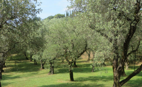 Olivi nella Camminata tra gli Olivi
