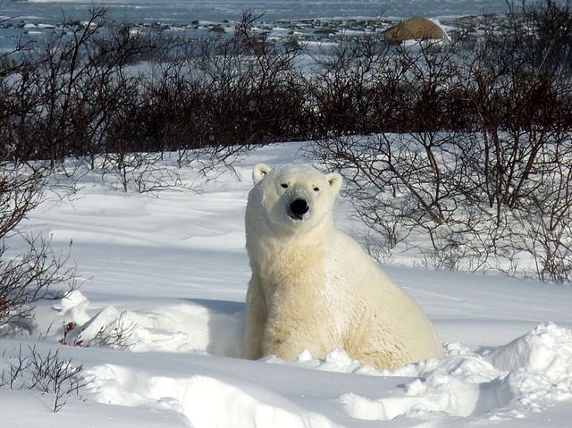 Orso polare in Canada