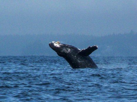 Pacific Rim Whale Festival 2014, Canada