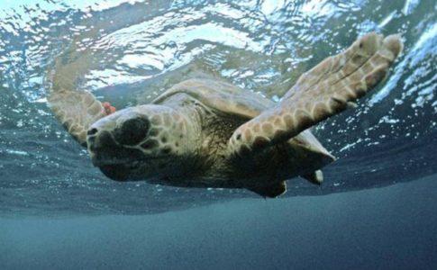 Tracce di tartarughe marine sulla spiaggia del Cilento