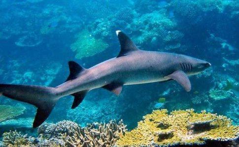 Uno degli squali sulla barriera corallina