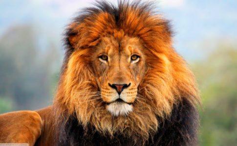 Uno dei leoni selvatici