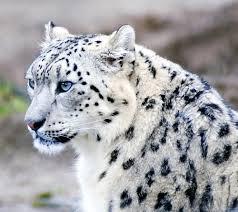 Leopardo delle nevi petizione