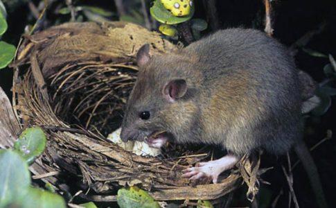 Topo, tra le specie invasive