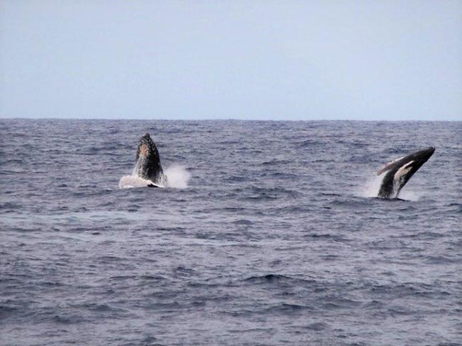 Balene a Kauai