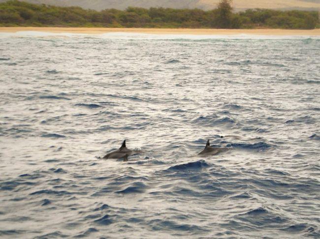 Delfini a Kauai