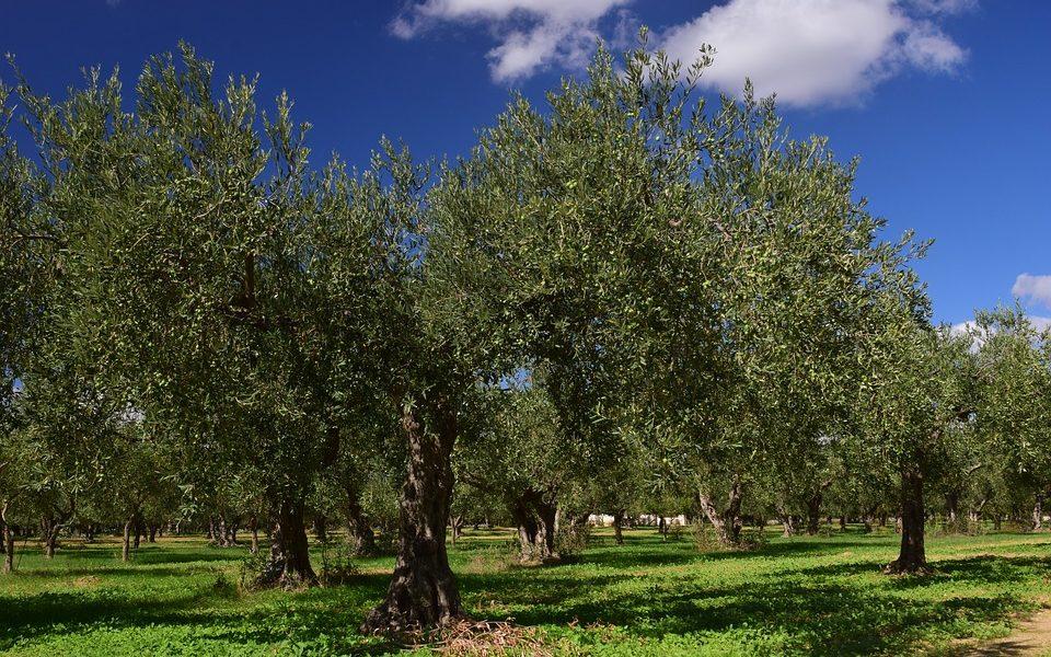 """Maltempo in Italia: l'allarme della Coldiretti: """"Strage di 25 milioni di ulivi"""""""