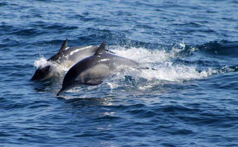 """""""Delfini Capitolini"""", 19 avvistamenti tra Ostia e Fiumicino"""