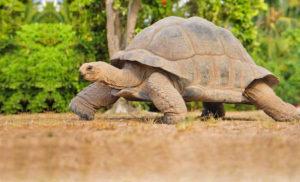 seychelles tartaruga gigante
