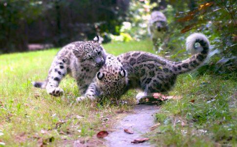 Cuccioli leopardo