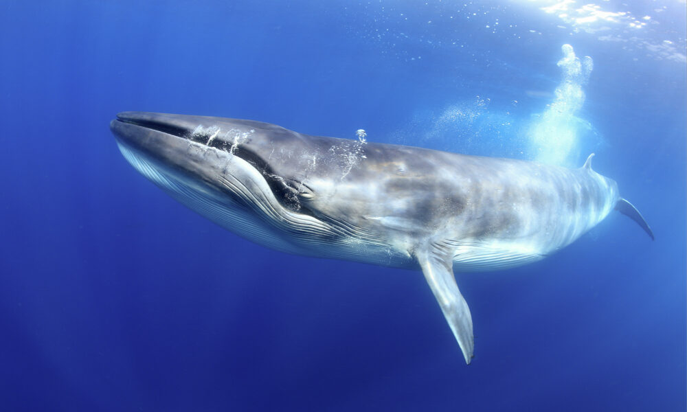 Isole Canarie, Tenerife. Cetaceo in mare. Foto di Francis Pérez