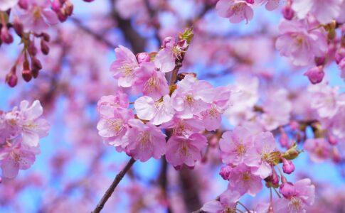 Primavera in Giappone, ciliegi in fiore