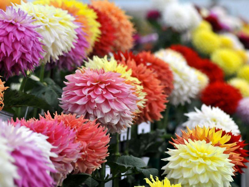 Fiori Fonte:VisitBritain Flower Show