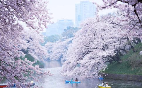 Hanami a Tokyo, primavera con ciliegi in fiore. Via GoTokyo.