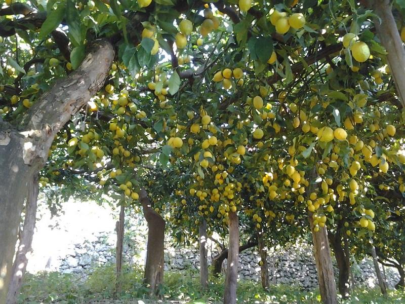 Sentiero dei limoni Fonte: InCampania