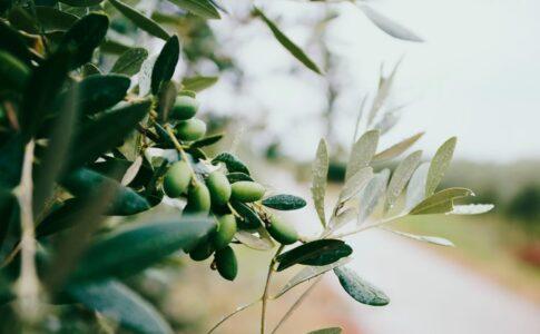 Olive. Via Terre di Siena.