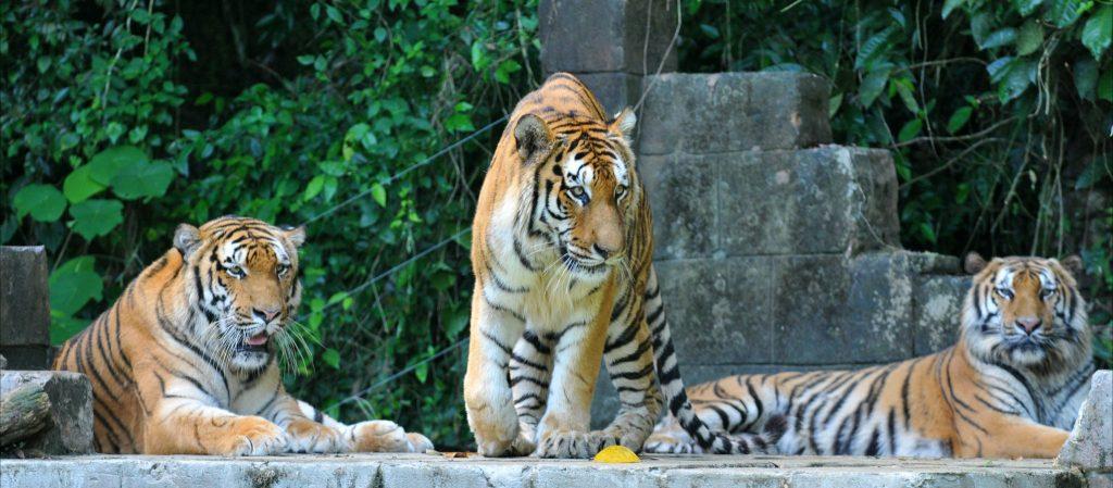 La tigre della Malesia. Via Malaysia Travel.