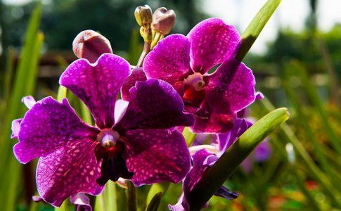 orchidea via malaysia travel